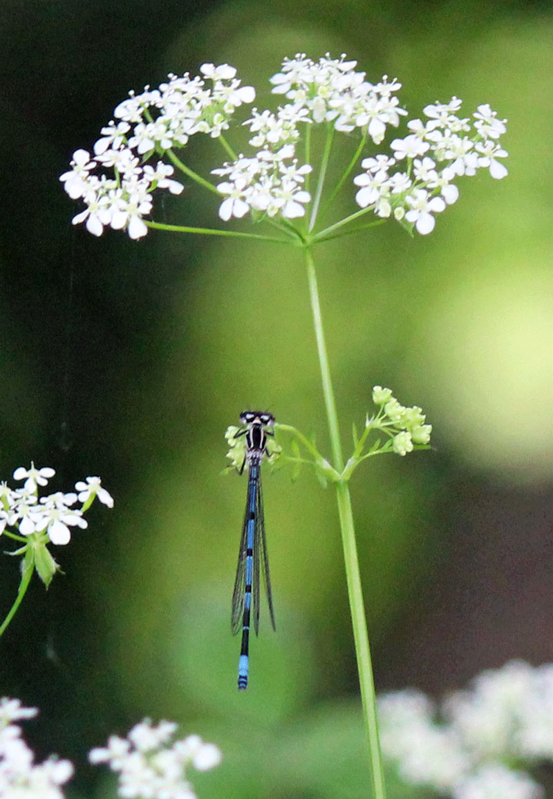 Damselfly in Big Wood, Erddig